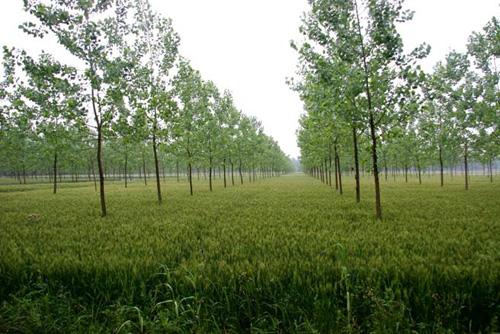 杨树种质资源圃